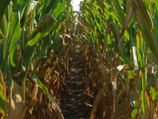 Rows of corn.