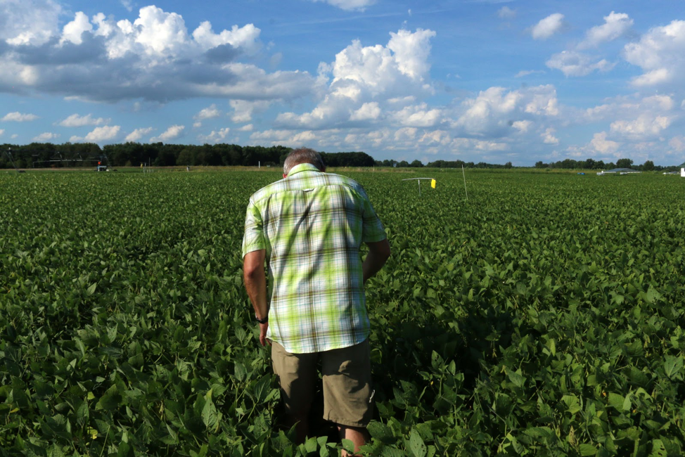 Dr. Landis looks for aphids in the soybean field plot.