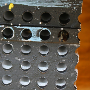 One of the study bees entering a bee box.