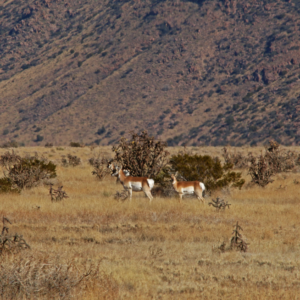 Antelope on the refuge.