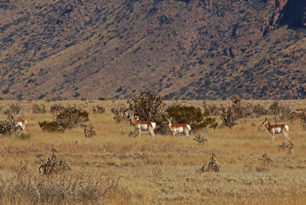 Antelope on the refuge.