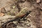 Sceloporus jarrovi (Yarrow's spiny lizard)