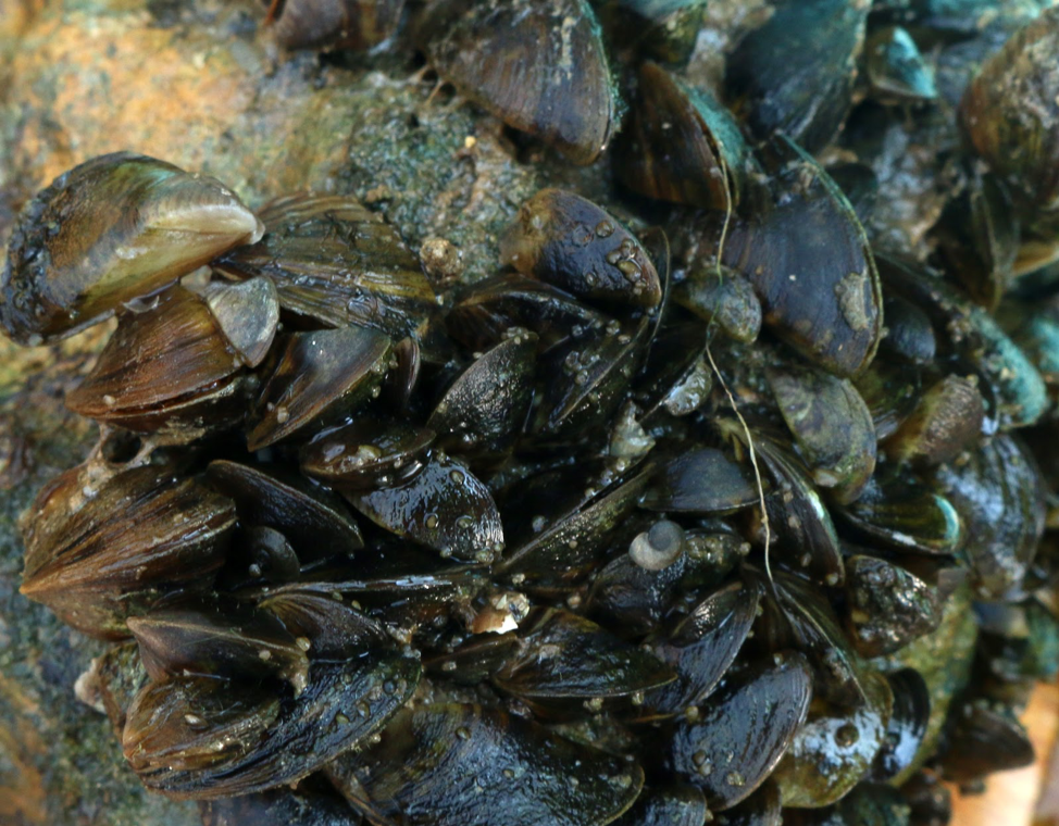 Zebra mussels attach to hard bottom structure.