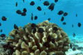 Damselfish and their coral host (Pocillopora eydouxi).