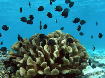 Damselfish and their coral host (Pocillopora eydouxi).