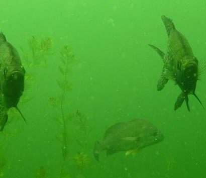 Freshwater fish in a lake