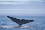 A blue whale tale breaching the surface