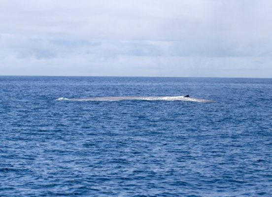 A blue whale surfaces off the coast of California, where the whales congregate to feed on krill in the summer months.