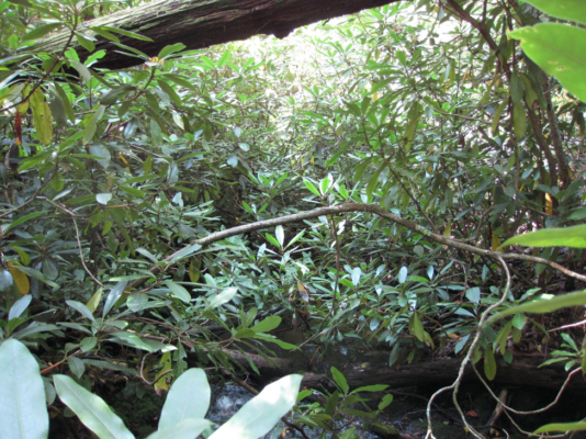 Rhododendron shrubs leave no space left unfilled as its branches stretch over the forest floor and streams. Photo credit: Maura Dudley.