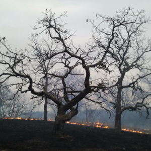 A controlled burn in Cedar Creek oakland