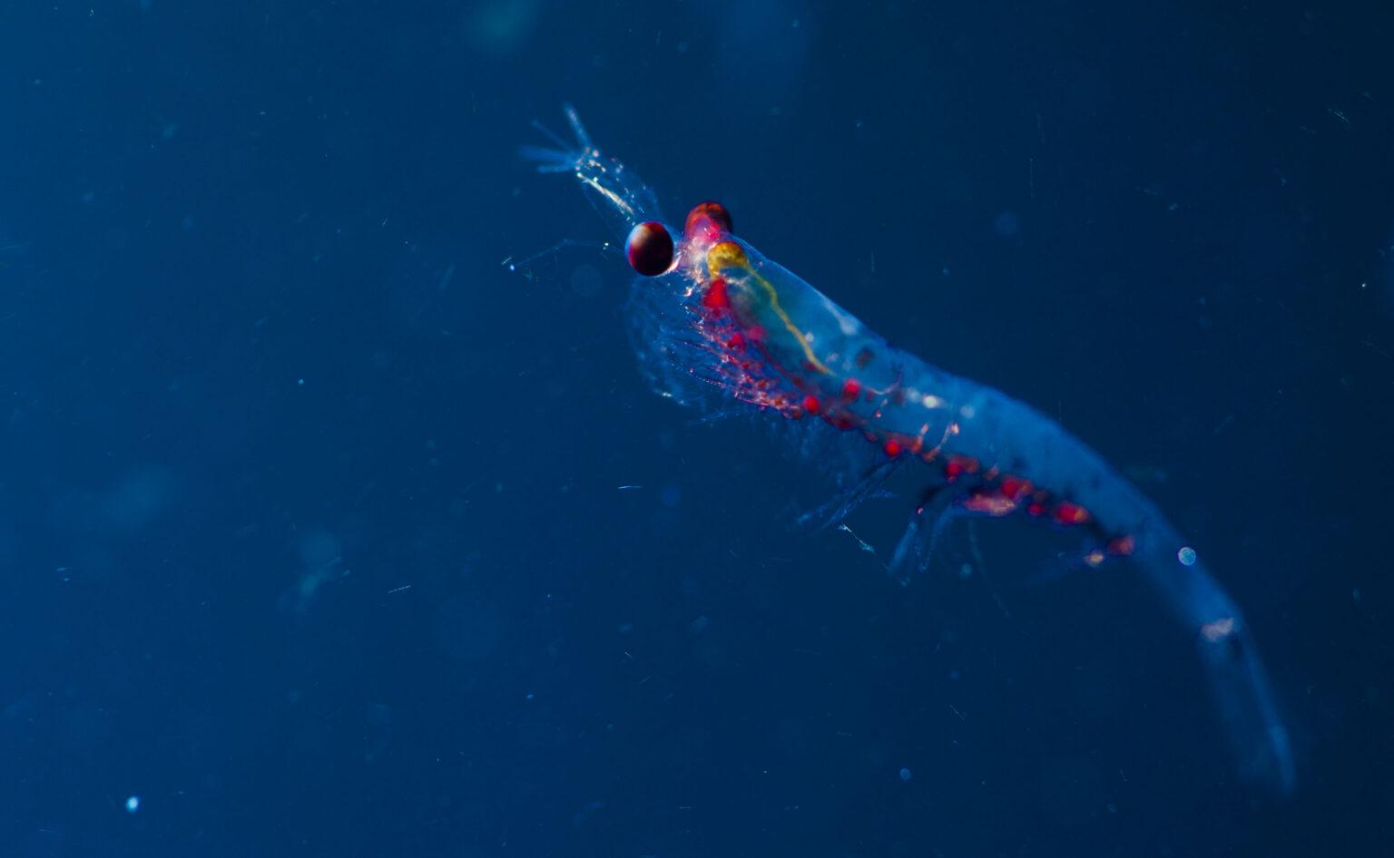 glowing blue shrimp-like organism